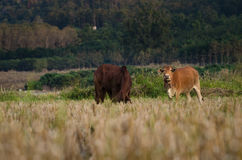 Rice field with the cows in countryside of Thailand. Cows are eating rice. rice field after harvested Stock Photography