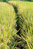 Rice field crop Stock Images