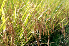 Rice field crop Royalty Free Stock Images