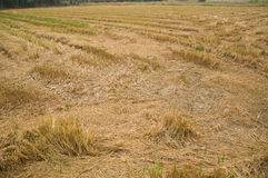 Rice field after cultivation Stock Photos