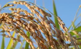 Rice Field Detail Royalty Free Stock Photography