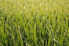 Rice Field and Dew Drop Royalty Free Stock Images