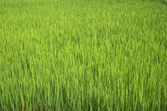 Rice field. In Di Linh, Viet Nam Royalty Free Stock Photos