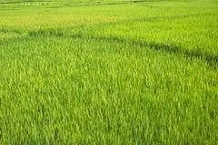 Rice field. In Di Linh, Viet Nam Stock Photo