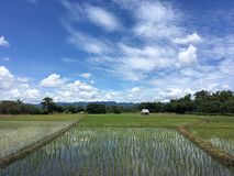 Rice field Royalty Free Stock Photography