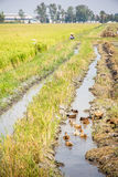 Rice field. With a duck and farmer Stock Images