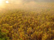Rice field at dusk Royalty Free Stock Photography