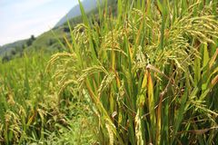 Rice field. Ear of paddy, close up. royalty free stock image