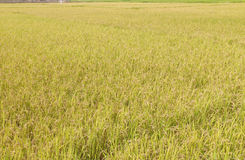 Rice field Stock Photos
