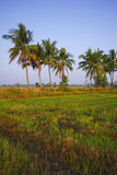 Rice field in early stage Royalty Free Stock Image