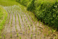 Rice field in early stage at Ubud, Bali. Royalty Free Stock Photo