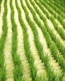 Rice field in eastern Taiwan Stock Photos