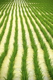 Rice field in eastern Taiwan Royalty Free Stock Photos