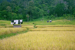 Rice field at the edge of the jungle Royalty Free Stock Images