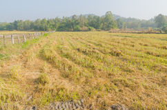 The rice field after end of harvest season Royalty Free Stock Image