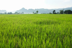 Rice field in evening. Green rice field in northern Thailand Stock Photography
