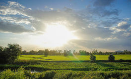 Rice field in the evening. In rural's Thailand Royalty Free Stock Photo