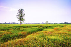 Rice field in the evening at Thailand Royalty Free Stock Image