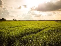 Rice field in evening time before rain. Green field in Thailand Royalty Free Stock Images
