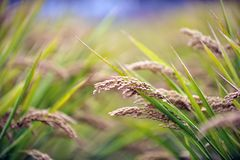 Rice in the field. Every autumn rice Gu Cheng ripens, golden ears of wheat hang heavy grain waiting for harvest Royalty Free Stock Images