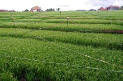 Rice field in a farm Royalty Free Stock Image