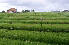 Rice field on a farm Royalty Free Stock Images