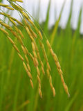 Rice. Field on the farm Stock Photography