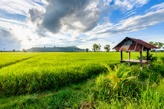 In the rice field Royalty Free Stock Photography
