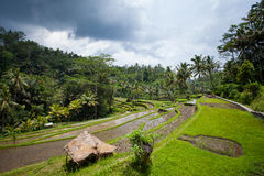 Rice field on the farm in the jungle prepared for landing. Rice field ready for planting, Sunny day on the farm. House with thatched roof in the jungle in the Stock Image