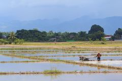 Rice Field and Farmer is Plowing Royalty Free Stock Images