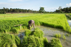 Rice Field. Farmers harvest rice in a field in the morning Royalty Free Stock Photo