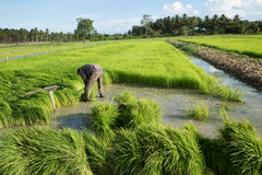Rice Field. Farmers harvest rice in a field in the morning Royalty Free Stock Images