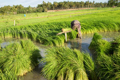 Rice Field. Farmers harvest rice in a field in the morning Stock Image