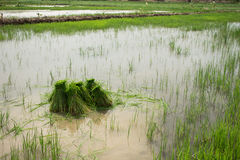 Rice Field. Farmers are planting rice in the morning Royalty Free Stock Images