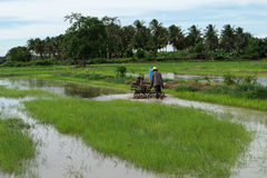 Rice Field. Farmers are preparing to plow rice Stock Image