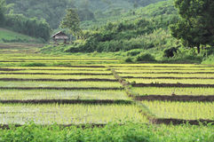 Rice field. The rice field with farmhouse royalty free stock images
