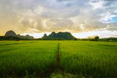 Rice field and farming in Chiang Rai province Stock Image