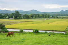 Rice field and farming. In Chiang Rai province, Thailand Stock Photos