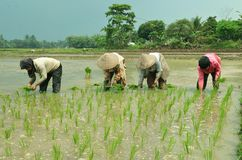 Rice Field Farming Worker Royalty Free Stock Photo