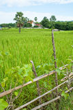 Rice field with fence. Sugar palm and temple Stock Images