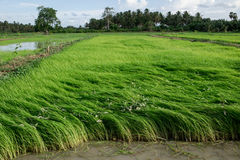 Rice Field. Rice in the fields in the morning Royalty Free Stock Photo