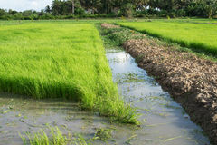 Rice Field. Rice in the fields in the morning Stock Images