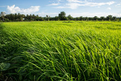Rice Field. Rice in the fields in the morning Stock Photos