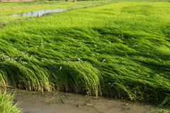 Rice Field. Rice in the fields in the morning Stock Image
