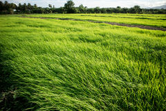 Rice Field. Rice in the fields in the morning Royalty Free Stock Photos