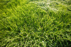 Rice Field. Rice in the fields in the morning Royalty Free Stock Photography