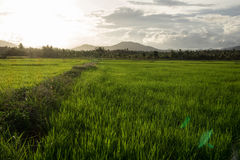 Rice Field. Rice in the fields in the morning Stock Photography