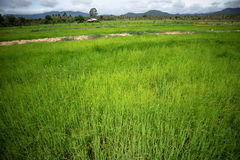 Rice Field. Rice in the fields in the morning Royalty Free Stock Image