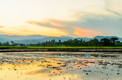 Rice field fill with water Stock Photography