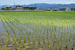Rice field finished the rice planting Stock Image